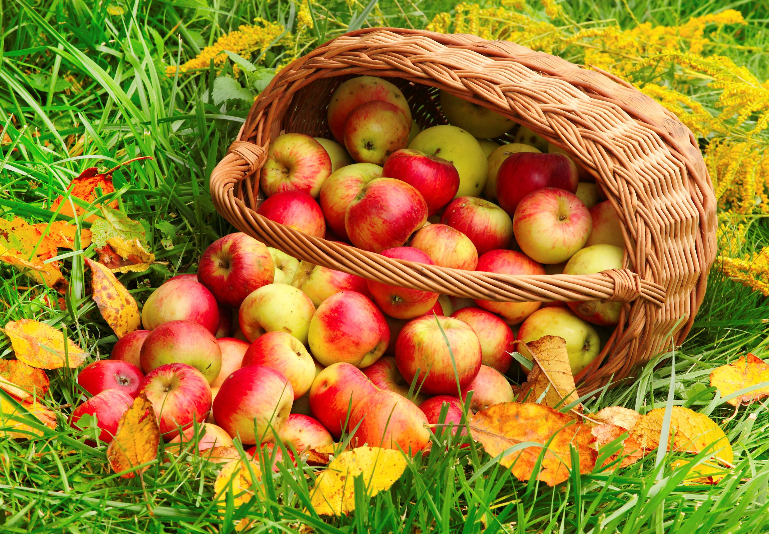 food-basket of apples